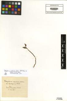 Botrychium matricariifolium