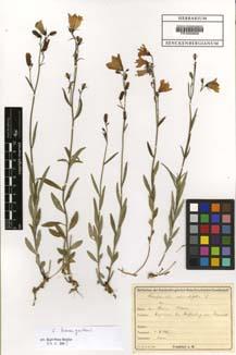 Campanula baumgartenii