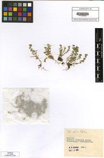 Scleranthus verticillatus