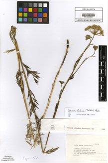 Selinum dubium