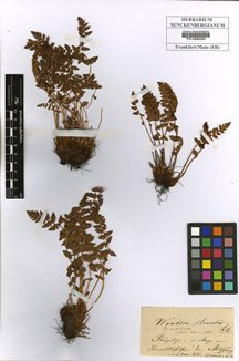 Woodsia ilvensis
