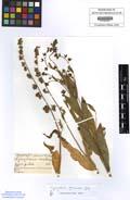 Cynoglossum germnicum