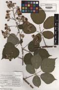 Rubus hassicus